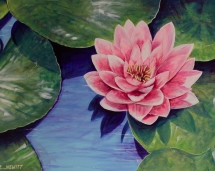 pink-water-lily